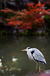 Japanese Gray heron, Aosagi, standing by the pond in fall nature scenery in Kyoto, Japan Image © MaximImages, License at https://www.maximimages.com