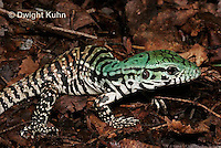 1R20-512z  Argentine Black and White Tegu, Newly born 1 week old juvenile, Tupinambis merianae
