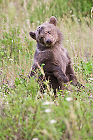 Grizzly bear cub sitting in a field - CA