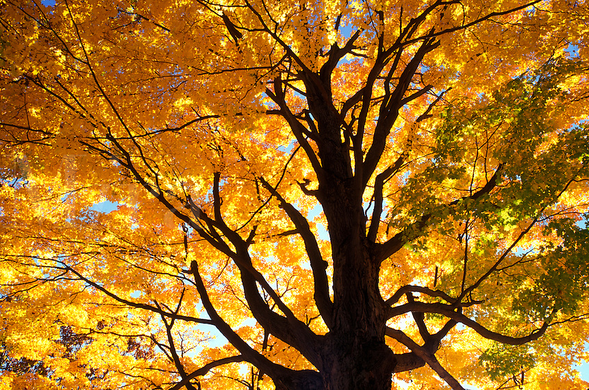 maple tree, fall, South Hadley, Massachusetts, MA, Looking up into the colorful leaves of a maple tree on the campus of Mount Holyoke College on a sunny autumn day in South Hadley.