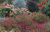 Salvia x jamensis 'Scott's Red' flowering sage with roses 'Brass Band' (left), 'Disneyland' and red 'Olympiad' in University of California Davis Arboretum, Storer Garden with purple foliage Berberis 'Crimson Velvet' and Leucophyllum 'Compactum'