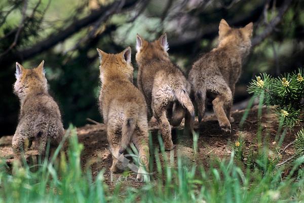 Wild Coyote (Canis latrans) pups.   Western U.S., June.