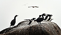 THE ISLES OF SCILLY SEABIRD RECOVERY PROJECT. SHAGS AND RAZORBILLS IN THE WESTERN ROCKS.<br />