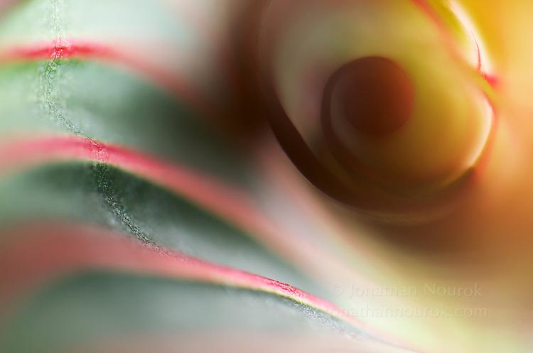 An extreme close-up of an unfolding maranta leaf