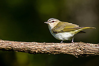 Red-eyed Vireo (Vireo olivaceus) foraging on its breeding territory at Assunpink Wildlife Management Area, Allentown, New Jersey.