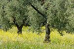 ESP, Spanien, Andalusien, Olivenhain, Olivenbaeume, Olivenplantage | ESP, Spain, Andalusia, olive trees