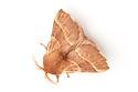 Lackey moth {Malacosoma neustria} photographed on a white background. Pembrokeshire, UK. July.
