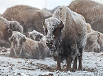 Yellowstone National Park, WY <br /> American Bison (Bison bison), or American Buffalo covered with morning frost in the upper geyser basin, winter