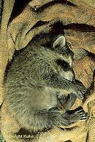 MA20-001x  Raccoon - Young animal sleeping in barn on a seed bag - .