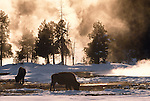 Bison graze in a geyser basin, Yellowstone National Park, Wyoming, USA