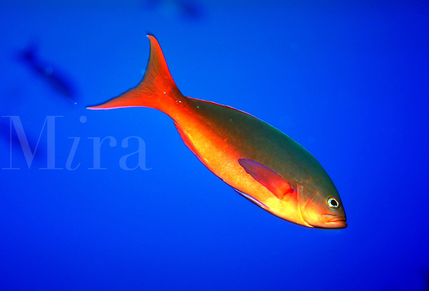 Pacific Creolefish, Paranthias colonus, close up, underwater. Galapagos Islands Ecuador Pacific Ocean, 650 miles west of South America.