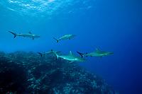 grey reef shark schooling, Carcharhinus amblyrhynchos, dive site Manihi Atoll, Tuamotu Archipelago, French Polynesia, Pacific Ocean