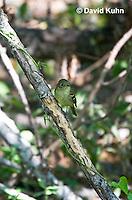 0917-0902  Acadian Flycatcher, Empidonax virescens © David Kuhn/Dwight Kuhn Photography
