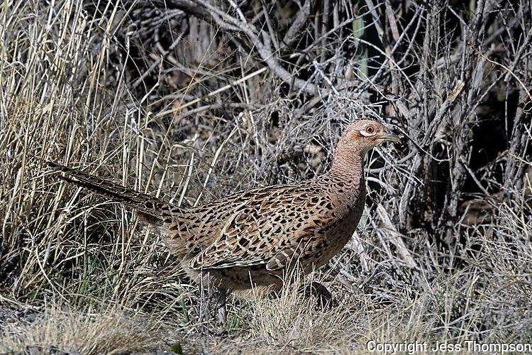 Female Ring-necked Pheasant, Cody, Wyoming