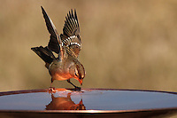 """White-crowned Sparrow (juvenile). Published in Nature's Best Photography magazine, & L'Image Magazine - Nature & Wildlife Edition. Also in NWF Wildlife Gardening Book """"Tips for Four Seasons"""" - 2018."""