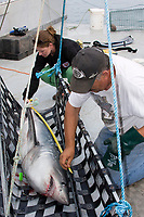 Emmerson Simpson, of Sharks Unlimited, and Pamela Emery, of the Canadian Shark Conservation Society, measure a porbeagle shark, Lamna nasus, which will be tagged and released for research, New Brunswick, Canada (Bay of Fundy)