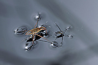 Gemeiner Wasserläufer, Wasserschneider, Gerris lacustris, common pond skater, common water strider, Wasserläufer, Gerridae, water striders