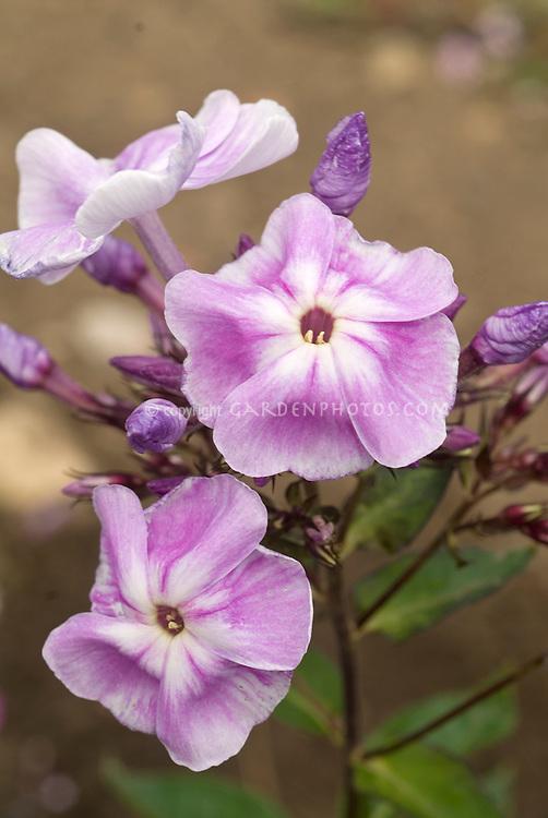 Phlox paniculata 'Pink Lady' garden Phlox in flower