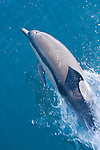 San Clemente Island, Channel Islands, California; a Common Dolphin (Delphinus delphis) leaps out of the water to get a breath of air while surfing the bow wake