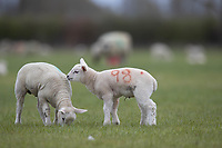 Spring LambsEwes and lambs <br /> ©Tim Scrivener Photographer 07850 303986<br />      ....Covering Agriculture In The UK....