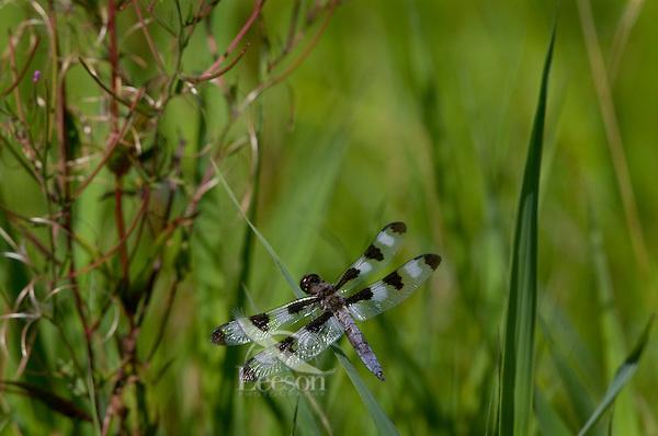 Male Twelve-spotted Skimmer Dragonfly (Libellula pulchella).  Pacific Northwest.  Summer.