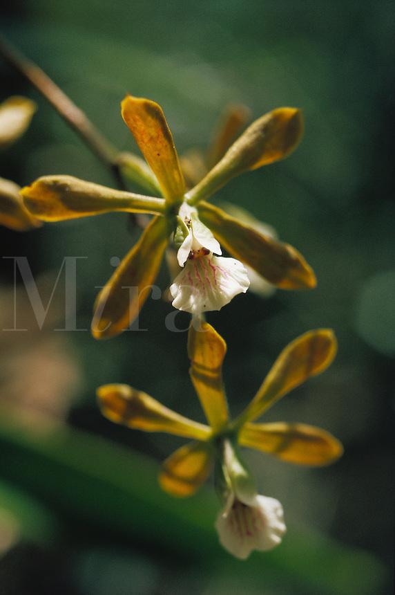 Epidendrum amictum, epiphytic orchid in forest gallery, Venezuela..