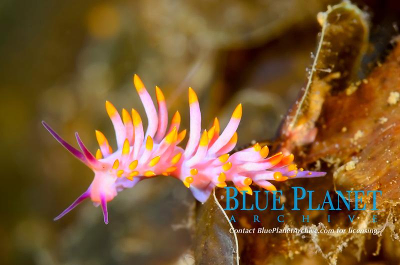 sea slug, or nudibranch, Tenellia sibogae, Lembeh Strait, North Sulawesi, Indonesia, Pacific Ocean