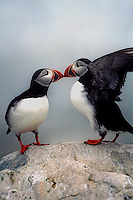 """""""Kissing Puffins""""  #P2"""