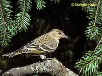 SW04-005z  Pine Siskin - Pine Finch - Carduelis pinus