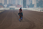 SHA TIN,HONG KONG-MAY 06: Convey,trained by Sir Michael Stoute,prepares for the Champions Mile at Sha Tin Racecourse on May 6,2017 in Sha Tin,New Territories,Hong Kong (Photo by Kaz Ishida/Eclipse Sportswire/Getty Images)