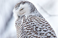 Snowy owl, Upper Peninsula of Michigan