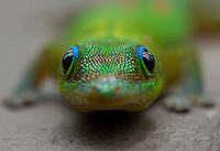 A closeup of the face of a gold dust day gecko.
