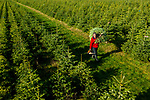 Pictured: Manager Nigel Cronshaw of Woodmann Trees carries a freshly cut tree as he inspects over 200,000 Nordmann Fir trees on over 350 acres of land on the estate in Herriard, near Basingstoke, Hants ahead of harvest on Monday.  <br /> <br /> The team at Woodmann Trees will harvest over 65,000 of the Nordmann Fir trees over 3 to 4 weeks, which grow to anywhere between 4ft to 9ft ahead of a coronavirus Christmas in 2020.<br /> <br /> Across two sites the team will have around 850,000 trees in the ground at any one time, which take on average of 6 to 10 years to grow before they are ready to be harvested. <br /> <br /> © Jordan Pettitt/Solent News & Photo Agency<br /> UK +44 (0) 2380 458800