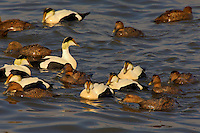 Common Eider male and females (Somateria mollissima dresseri). Largest duck in northern hemisphere. Spring. Atlantic Ocean. Coastal Nova Scotia, Canada.