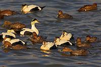 Common Eider male and females (Somateria mollissima dresseri). Largest duck in northern hemisphere. Spring. Atlantic Ocean. Coastal Nova Scotia, Canada.