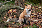 Red fox sitting looking right full body view.