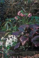 Helleborus hybridus spotted, pink blooms, with Bergenia Bressingham Ruby foliage & Scilla mischtschenkoana bulbs in flower combination