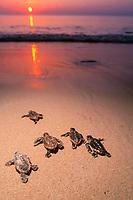 loggerhead turtle hatchlings, Caretta caretta, crawl across nesting beach toward ocean, Juno Beach, Florida, Atlantic Ocean