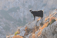 Goat on the rocks of Crete mountains