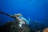 scalloped hammerhead shark, Sphyrna lewini, caught in shark net illegally set in Galapagos Marine Reserve, Wolf or Wenman Island, Galapagos Islands, Ecuador, South America (Eastern Pacific Ocean)