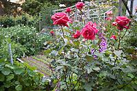 Red roses at ends of garden beds in California organic vegetable garden; MUST CREDIT: Elvin Bishop Garden