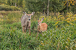 White-tailed doe with her fawn