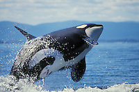 Orca whale (Orcinus orca) breaching.
