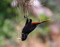 Crested oropendola gathering nest materials
