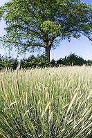 Roggen, Saat-Roggen, Roggenanbau, Roggenfeld, Acker, Secale cereale, Rye. Hamfelder Hof, Schleswig-Holstein