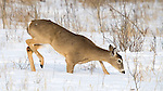 White-tailed deer (Odocoileus virginianus) breaking through deep snow