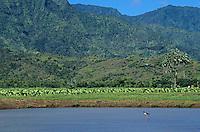 Hawaiian Stilt, Himantopus mexicanus knudseni, adult, Hanalei Bay, Kauai, Hawaii, USA, August 1997