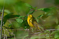 Male YELLOW WARBLER (Dendroica petechia) singing.  A common warbler found throughout North America.