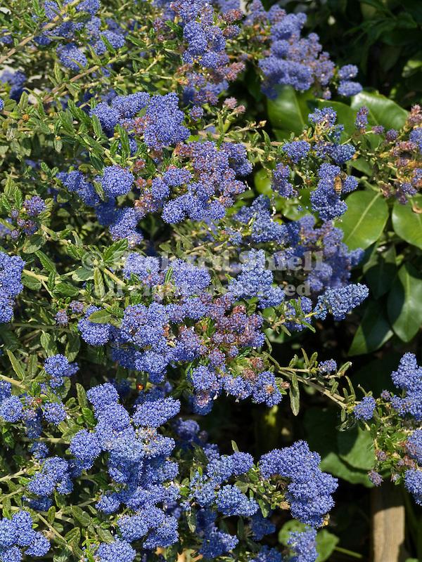 Ceanothus Concha, California Lilac