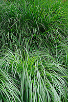 Miscanthus sinensis Gracillimus and Pennisetum Alopecuroides in front